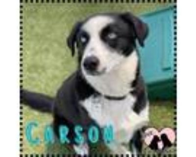 Adopt Carson a Black - with White Border Collie / Mixed dog in Chandler