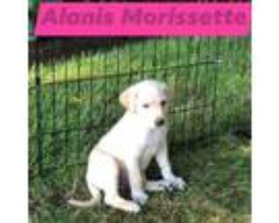 Adopt Alanis Morissette a Tan/Yellow/Fawn Great Pyrenees / Labrador Retriever /