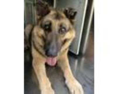 Adopt Bullet a Black German Shepherd Dog / Mixed dog in Fort Worth