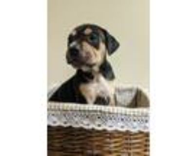 Adopt NC-Pippy Jo a American Pit Bull Terrier / Mastiff / Mixed dog in