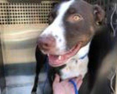Adopt GILLIGAN a Brown/Chocolate - with White German Shorthaired Pointer / Mixed