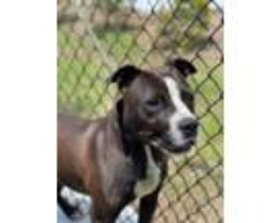 Adopt Slade a Pit Bull Terrier