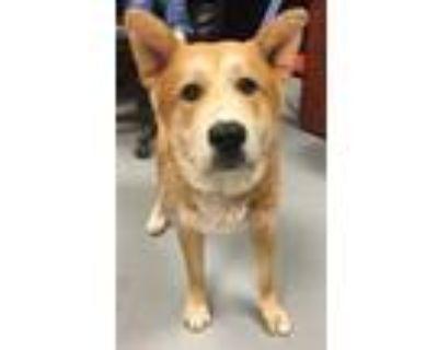 Adopt 47642804 a Red/Golden/Orange/Chestnut Alaskan Malamute / Mixed dog in Los