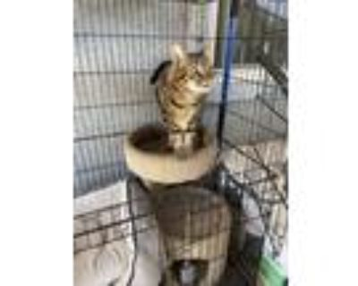 Adopt Anabel a Brown Tabby Calico / Mixed cat in Oak Hills, CA (32028399)
