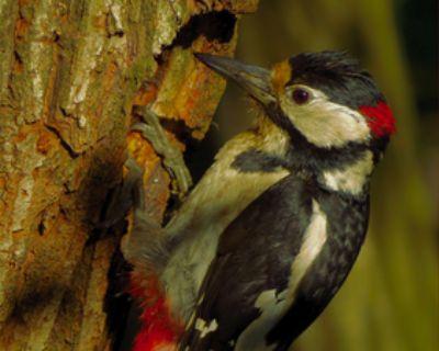 Woodpecker Control in Atlanta