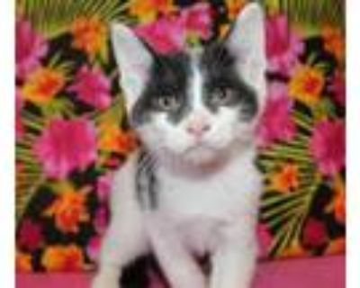 Adopt BASIL a White (Mostly) Domestic Shorthair / Mixed (short coat) cat in