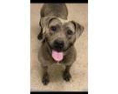 Adopt Doris a Gray/Blue/Silver/Salt & Pepper American Pit Bull Terrier / Mixed