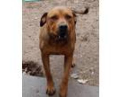 Adopt **CZR a Red/Golden/Orange/Chestnut - with White American Staffordshire