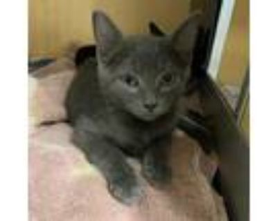 Adopt Nemo a Gray or Blue Domestic Shorthair / Mixed cat in Chesapeake