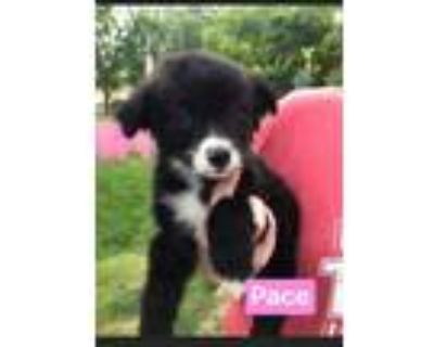 Adopt Pace a Border Collie