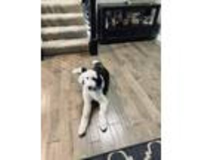 Adopt Muffins a Black - with White Shepherd (Unknown Type) / Poodle (Standard) /