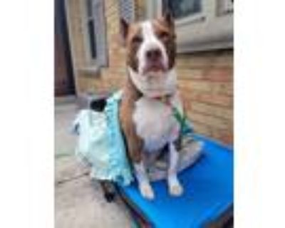 Adopt Gozer $250 a American Pit Bull Terrier / Mixed dog in Milwaukee