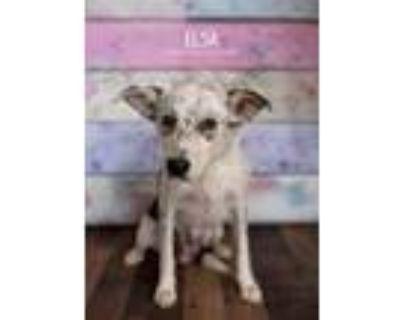 Adopt Elsa a Australian Cattle Dog / Blue Heeler