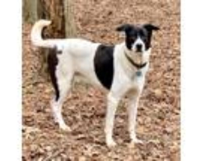 Adopt Jack Frost a White - with Black German Shepherd Dog / Dalmatian / Mixed