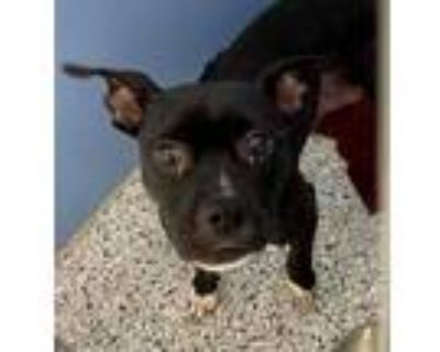 Adopt Chickpea a Black American Pit Bull Terrier / Mixed dog in Kansas City