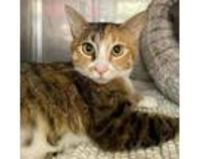 Adopt Mango a Calico or Dilute Calico Domestic Shorthair / Mixed cat in Oakland