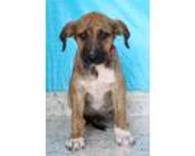 Adopt Fancy a Tricolor (Tan/Brown & Black & White) Labrador Retriever / Mixed