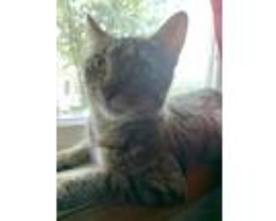 Adopt Pandora a Gray or Blue (Mostly) American Curl / Mixed (medium coat) cat in