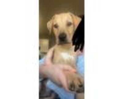 Adopt Haru a Tan/Yellow/Fawn Labrador Retriever / Mixed dog in Texas City