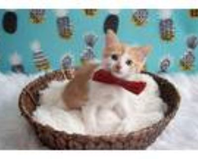 Adopt Basil a Orange or Red (Mostly) Domestic Shorthair (short coat) cat in