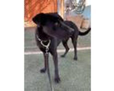 Adopt Midnight a Black Labrador Retriever / Mixed dog in Apple Valley