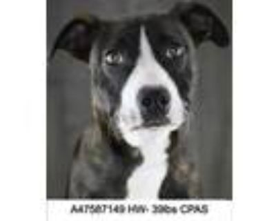 Adopt Sugar Baby a Brindle Terrier (Unknown Type, Small) / Mixed dog in