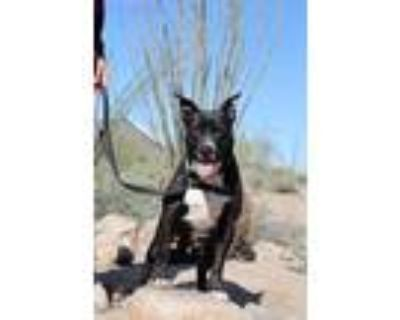 Adopt ADELE a Black - with White American Pit Bull Terrier / Labrador Retriever
