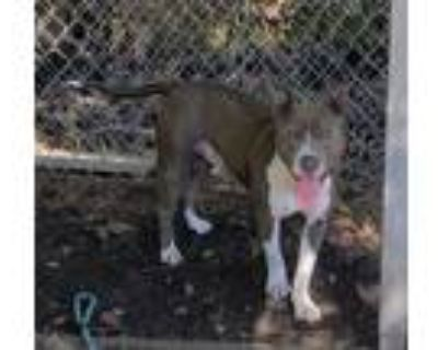 Adopt CPhase a Gray/Silver/Salt & Pepper - with White American Pit Bull Terrier