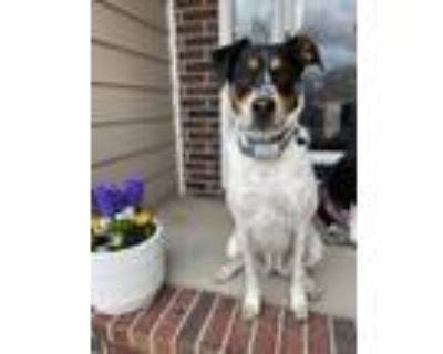 Adopt Gracie a White - with Brown or Chocolate Australian Cattle Dog / Bernese