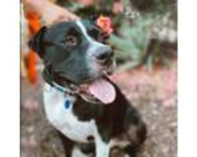 Adopt Gordo a Black - with White Pit Bull Terrier / Mixed dog in Rowland