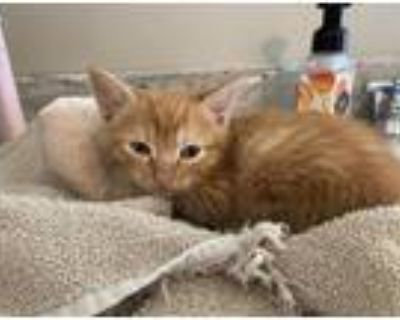 Adopt Rudy a Orange or Red Domestic Mediumhair / Mixed cat in Bossier City