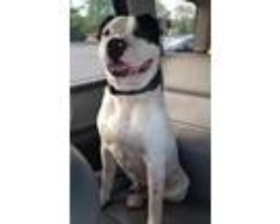 Adopt Hudson a Black - with White American Pit Bull Terrier / Mixed dog in