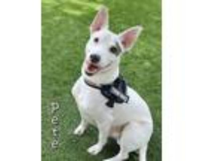 Adopt PETE a Pit Bull Terrier, Mixed Breed