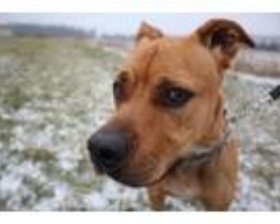 Adopt Maximus a Tan/Yellow/Fawn - with White Boxer / American Pit Bull Terrier /