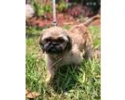 Adopt Bobby a Tan/Yellow/Fawn - with Black Shih Tzu / Mixed dog in Cape Coral