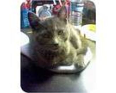 Misty, Domestic Shorthair For Adoption In West Los Angeles, California