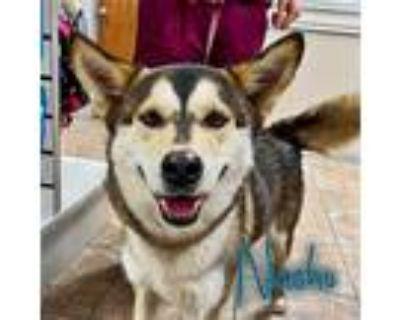 Adopt Nacho a Black - with White Siberian Husky / Mixed dog in Carrollton