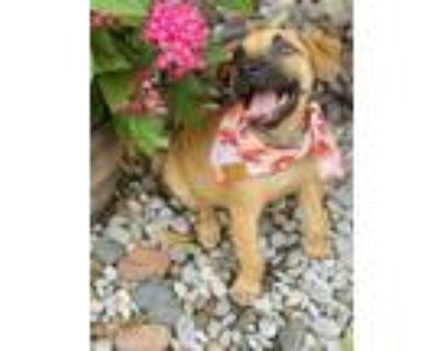 Adopt Brownie Elmore (VRS) a Brown/Chocolate - with Black Labrador Retriever dog