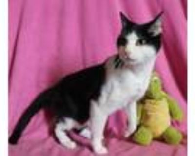 Adopt Buster a Black & White or Tuxedo Domestic Shorthair (short coat) cat in