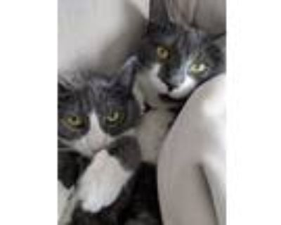 Adopt Evie and Osie a Gray or Blue American Shorthair / Mixed (short coat) cat