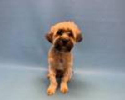 Adopt Cooper a Yorkshire Terrier, Poodle