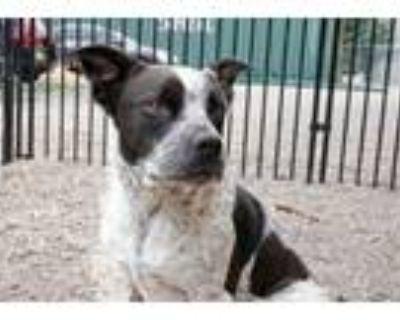 Adopt Sancho a Australian Cattle Dog / Blue Heeler, Pit Bull Terrier