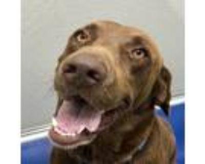 Adopt Moe a Brown/Chocolate Labrador Retriever / Labrador Retriever / Mixed dog