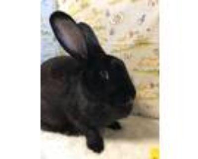 Adopt Henrietta a Black Flemish Giant / Mixed (short coat) rabbit in Waynesboro