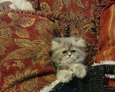Persian kittens CFA