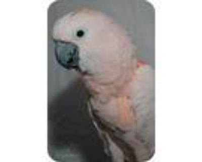 Rosy, Cockatoo For Adoption In Northbrook, Illinois