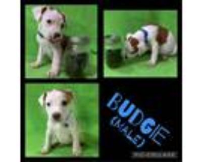 Adopt Budgie a White - with Tan, Yellow or Fawn Boxer / Mixed dog in El Dorado