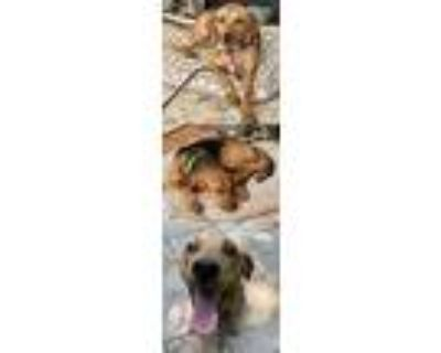 Adopt Buddy a Shepherd (Unknown Type) / Hound (Unknown Type) / Mixed dog in