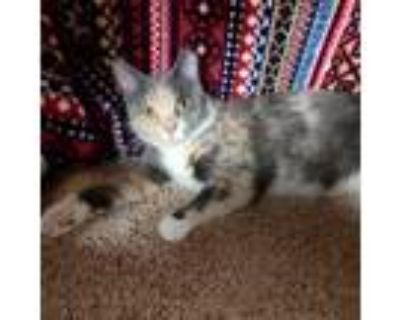 Adopt Parsnip a Gray or Blue Domestic Shorthair / Domestic Shorthair / Mixed cat