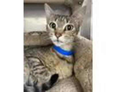 Adopt Sis (bonded with Sass) a Brown Tabby Domestic Shorthair / Mixed cat in